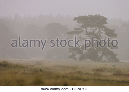 Scotch pine / Scots pine (Pinus sylvestris) in Hoge Veluwe National Park, the Netherlands - Stock Photo