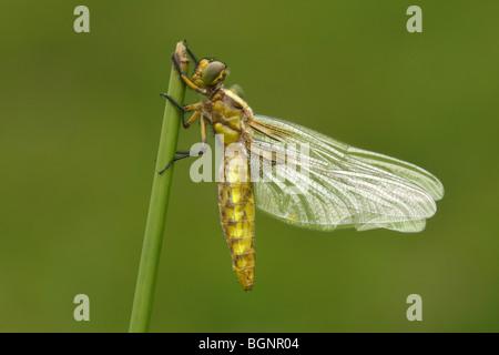 Emerged Broad-bodied chaser dragonfly (Libellula depressa), Gaume, Belgium - Stock Photo