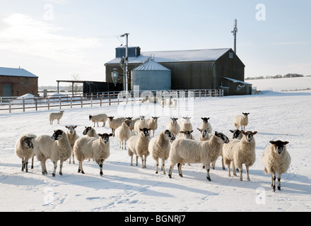 Sheep grazing in the snow in winter, on a farm, Moulton Village near Newmarket, Suffolk, UK - Stock Photo