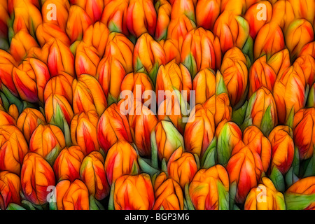 Photo illustration:  Displays of tulips bunched together - Stock Photo