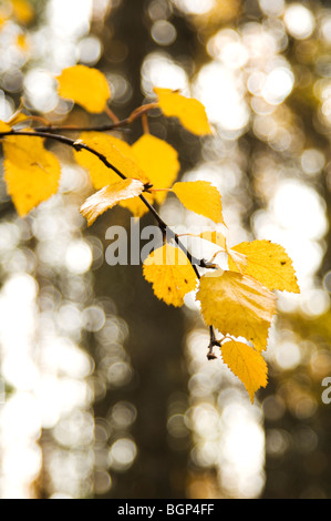 Autumn leaves on a birch tree. - Stock Photo