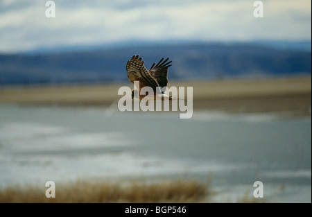 A Hen Harrier flying - Stock Photo