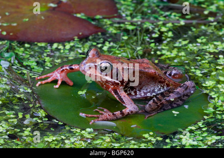 European common brown frog (Rana temporaria) juvenile sitting on water lily pad amongst duckweed in pond - Stock Photo