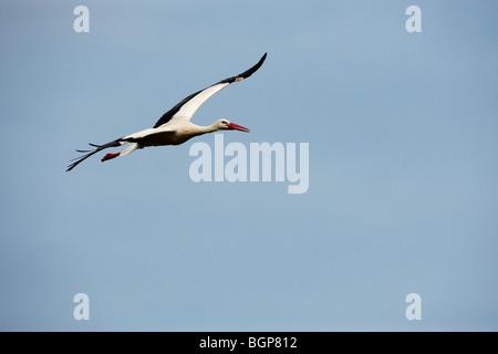 Stork, Skane, Sweden. - Stock Photo