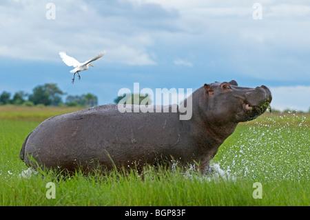 Hippopotamus (Hippopotamus amphibius) is jumping and pushing heron in the air, Chobe Fluss, Botswana - Stock Photo