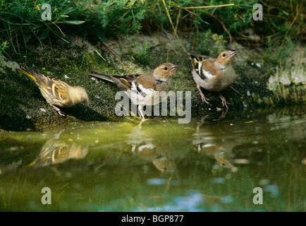 Siskin and chaffinch, Sweden. - Stock Photo