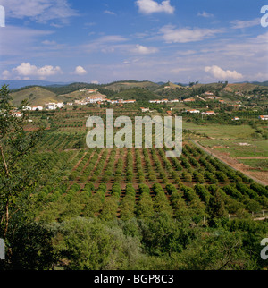 View of orange plantation, Portugal. - Stock Photo