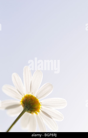 Marguerite, close-up. - Stock Photo