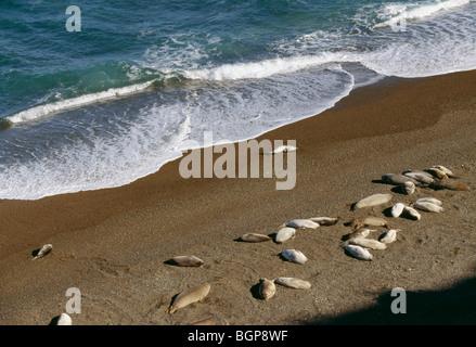 Elephant-seals, Argentina. - Stock Photo