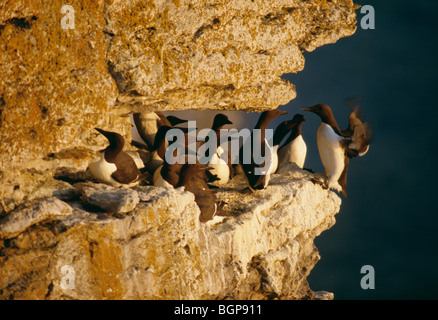 Guillemots, Gotland, Sweden. - Stock Photo