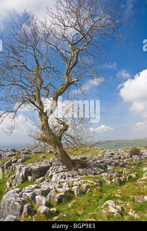 Stark lone tree growing through Limestone pavement above Settle Yorkshire Dales National Park Yorkshire England - Stock Photo