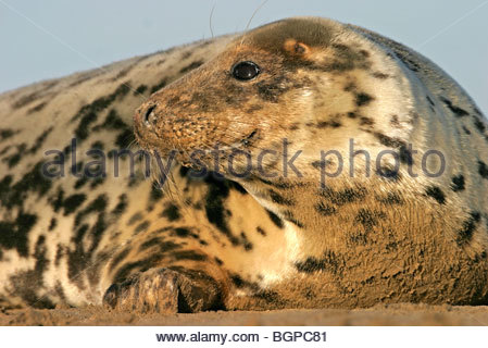 Grey seal (Halichoerus grypus) resting on beach, Donna Nook, Lincolnshire, UK - Stock Photo