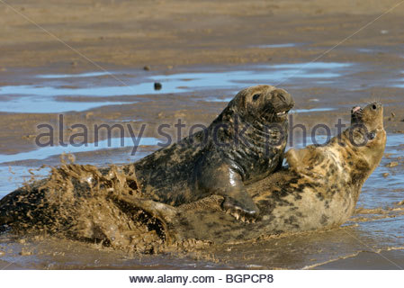 Grey seal (Halichoerus grypus) cow and bull on beach, Donna Nook, Lincolnshire, UK - Stock Photo