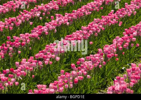 Tulips at Roozengaarde tulip fields, Skagit Valley, Washington. - Stock Photo