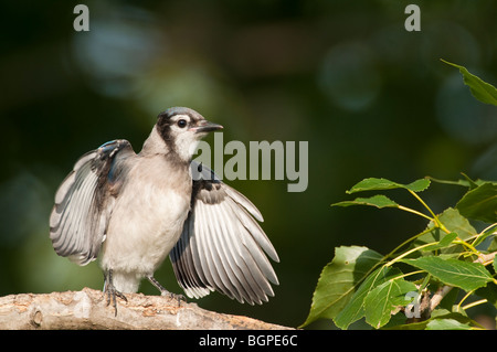 Young jay flapping its wings and begging for food. - Stock Photo