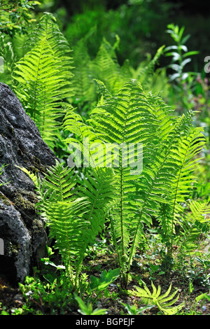 Ostrich fern / Shuttlecock fern (Matteuccia struthiopteris), Germany - Stock Photo