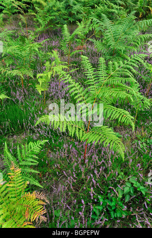 Common bracken (Pteridium aquilinum) and heather in heathland - Stock Photo