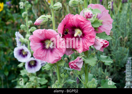Hollyhock flowers in front of poppies in a summer garden in England. A bee is resting inside one of the pink blooms. - Stock Photo