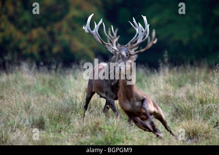 Red deer (Cervus elaphus) stag chasing away young competitor during the rut in autumn - Stock Photo