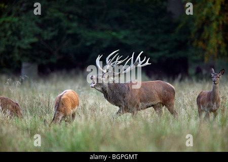 Red deer (Cervus elaphus) stag herding hinds at forest edge during the rut in autumn - Stock Photo