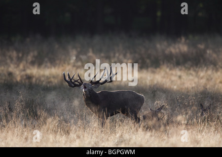 Red deer (Cervus elaphus) stag herding hinds at forest edge during the rut in autumn, Denmark - Stock Photo
