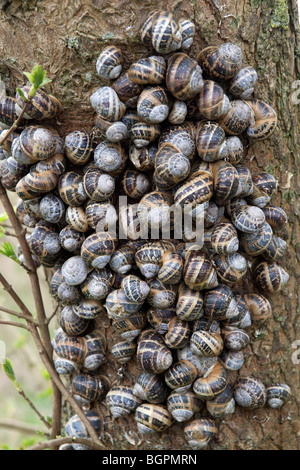 mass of snails on tree trunk - Stock Photo