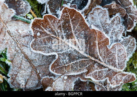 Frosted fallen oak leaf showing the edges and veins on the leaf, Devon UK - Stock Photo
