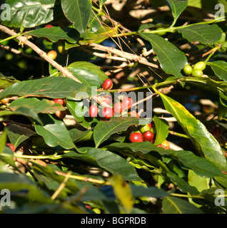 Panama Ripe Coffee Beans Boquete Chiriqui Province - Stock Photo