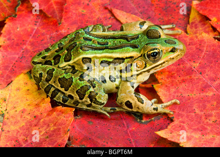 Northern Leopard Frog Rana pipiens on Red Maple Acer rubrum E North America, by Skip Moody/Dembinsky Photo Assoc - Stock Photo