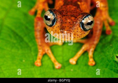 Tree Frog (Boophis tephraeomystax) (Boophis difficilis}, adult, Andasibe-Mantadia National Park, Madagascar - Stock Photo