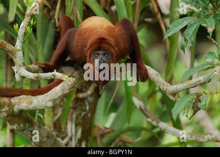 Red Howler Monkey (Alouatta seniculus), adult, Iquitos, Peru - Stock Photo