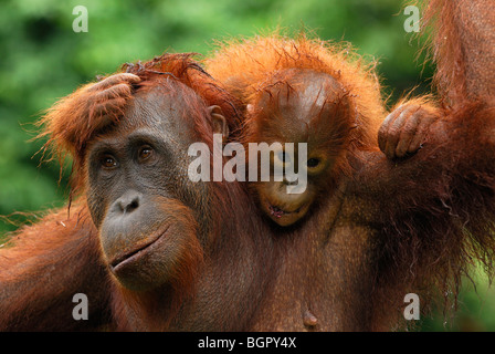 Borneo Orangutan (Pongo pygmaeus), female with baby after rain, Camp Leaky, Tanjung Puting NP, Kalimantan, Borneo, - Stock Photo