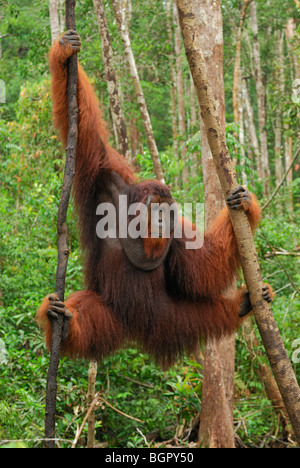 Borneo Orangutan (Pongo pygmaeus), male hanging, Camp Leaky, Tanjung Puting National Park, Kalimantan, Borneo, Indonesia - Stock Photo
