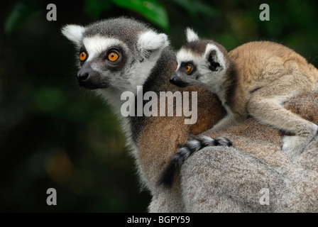 Ring-tailed Lemur (Lemur catta), female with its baby riding on its back, Madagascar - Stock Photo