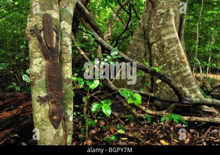 Henkel's Leaf tailed Gecko (Uroplatus henkeli), adult, Ankarana National Park, Northern Madagascar - Stock Photo
