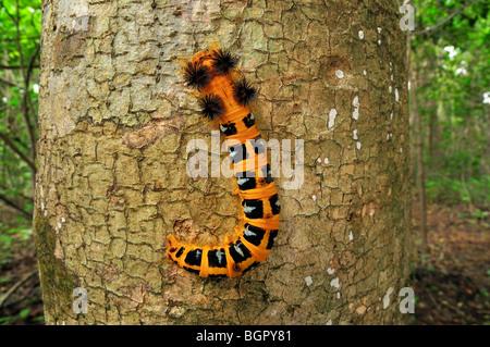 Moth caterpillar (Borocera), Lasiocampidae, on a tree trunk, Ankarana National Park, Northern Madagascar - Stock Photo