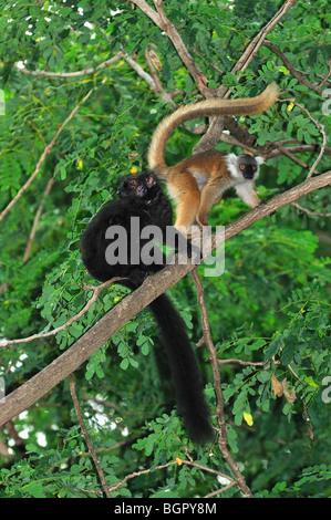 Black Lemur (Eulemur macaco macaco), male and female, Lokobe Nature Special Reserve, Nosy Be, Northern Madagascar - Stock Photo