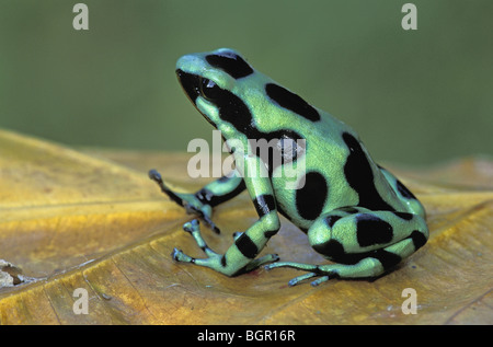 Green and Black Poison Frog (Dendrobates auratus), adult, Cahuita National Park, Costa Rica - Stock Photo