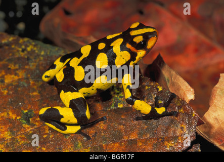 Harlequin Poison Frog (Dendrobates histrionicus), adult, Farallones de Cali, Colombia - Stock Photo