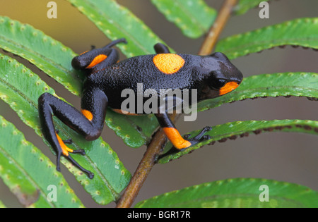 Harlequin Poison Frog (Dendrobates histrionicus), adult, Risaralda, Colombia - Stock Photo