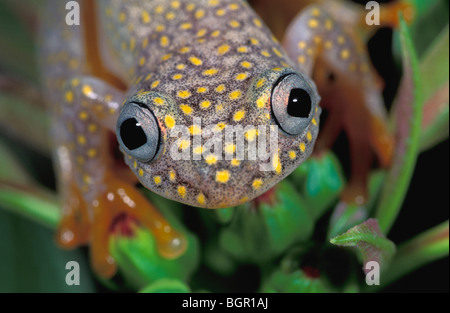 White Spotted Reed Frog (Heterixalus alboguttatus), adult, Ranomafana National Park, Madagascar - Stock Photo