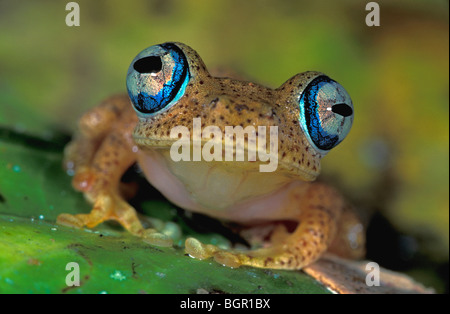 Dumeril's Bright-eyed Frog (Boophis tephraeomystax), adult, Andasibe-Mantadia National Park, Madagascar - Stock Photo