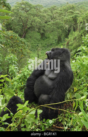 Mountain Gorilla (Gorilla beringei beringei), Silverback with open mouth, Volcanoes National Park, Rwanda - Stock Photo