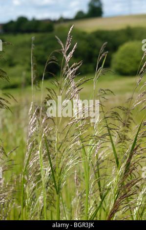 Tufted Hair-grass, 'deschampsia cespitosa' - Stock Photo