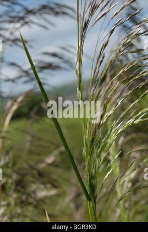 Tufted Hair-grass, deschampsia cespitosa - Stock Photo