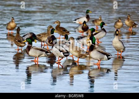 Group of Mallard Ducks Standing on Ice in Clark County, Indiana - Stock Photo
