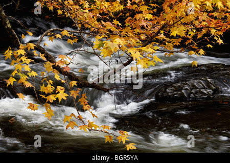 Branch of Sweetgum Tree with Autumn Leaves with Rapids on the Tellico River behind in the Cherokee National Forest - Stock Photo