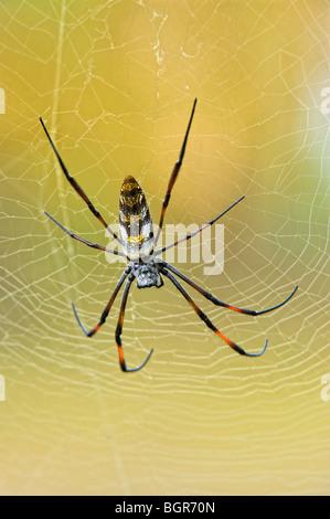 Golden orb-web spider (Nephila madagascariensis), Madagascar - Stock Photo
