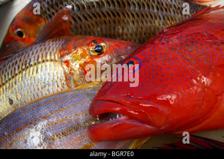Fresh reef fish caught on the Great Barrier Reef Australia - Stock Photo