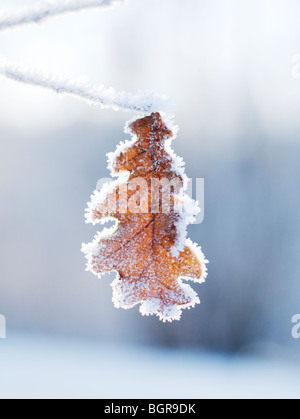 An ice covered oak leaf, close-up. - Stock Photo